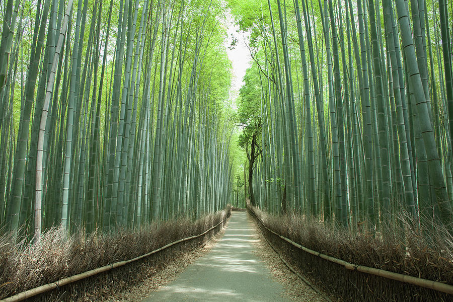 Path In Giant Bamboo Grove, Kyoto, Japan Photograph by Ippei Naoi
