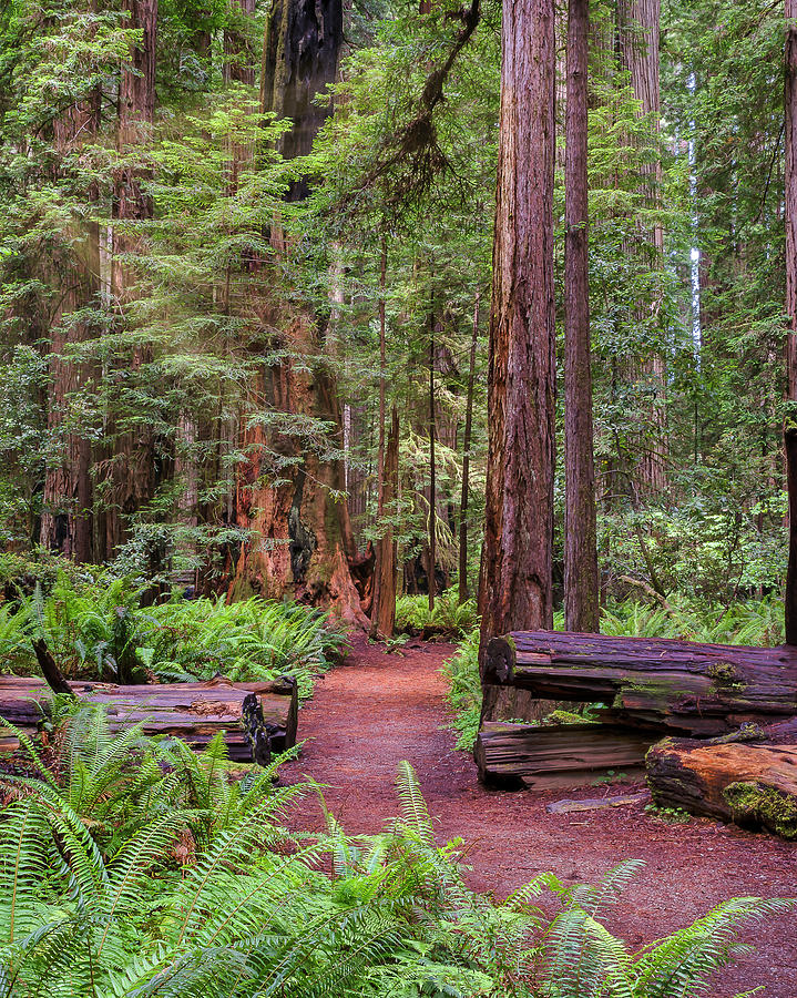 California Photograph - Path In Giant Redwoods by Doug Holck