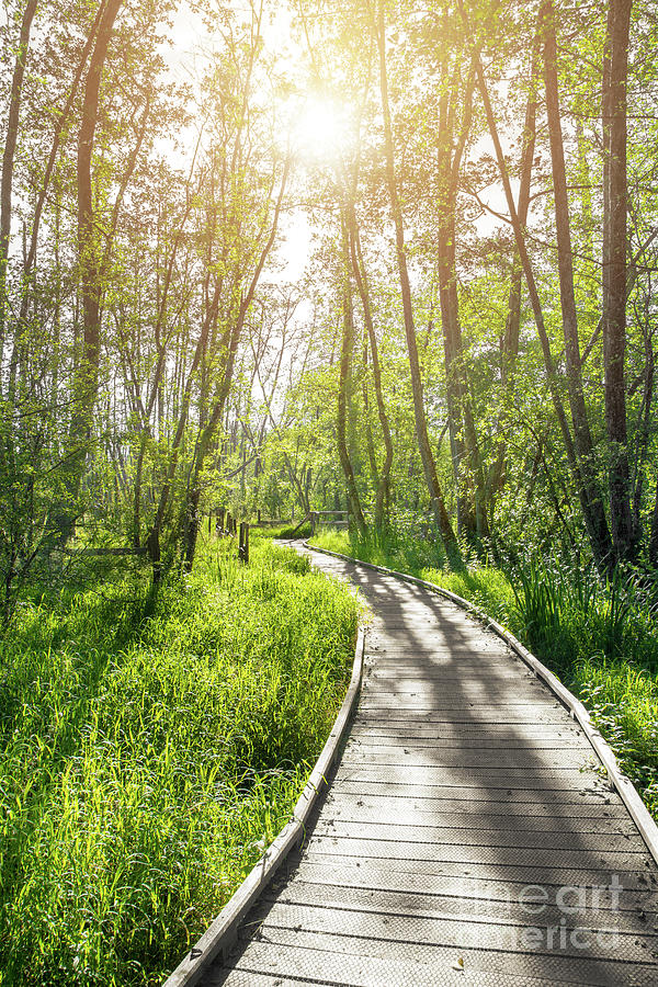 Path on stilts in French forest swamp by sunset by Gregory DUBUS