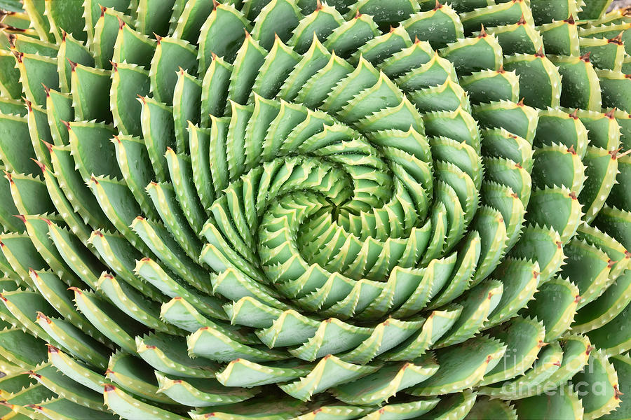 Beauty Photograph - Pattern Of Spiral Aloe Aloe Polyphylla by Photosky