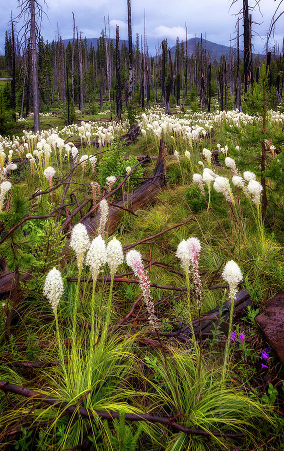 PCT Bear Grass by Cat Connor