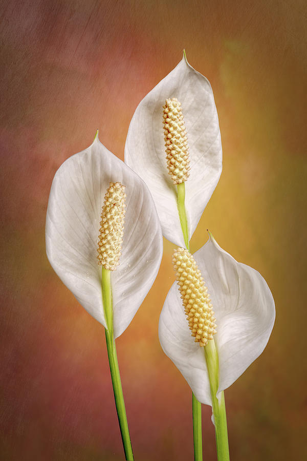 Peace Lily Flowers by Tom Mc Nemar