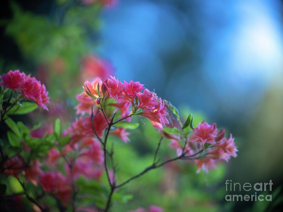 Peaceful Azaleas Light in the Garden by Mike Reid