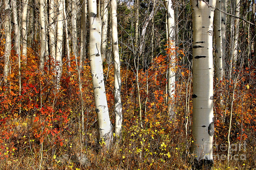 peaceful fall scene white black aspen trunks Populus tremuloides by Robert C Paulson Jr