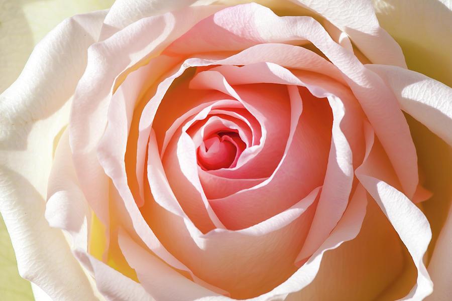 Pink Rose Photograph - Soft As A Rose by Az Jackson