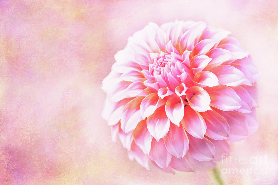 Glorious Peaches N Cream Dahlia by Anita Pollak