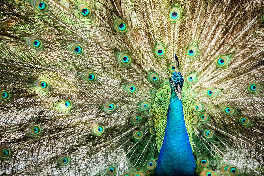 Peacock Array by Sabrina L Ryan