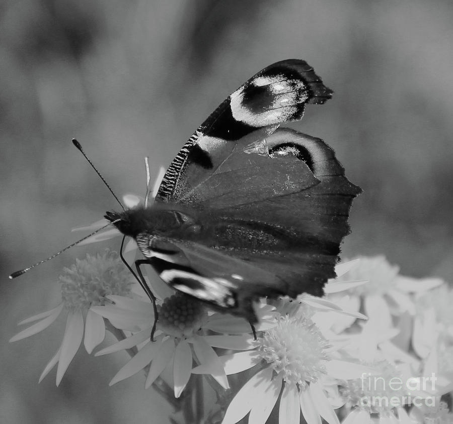 Peacock Butterfly bw Donegal by Eddie Barron