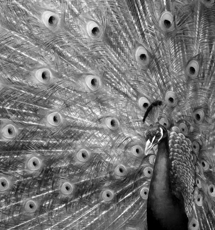 Peacock Feather Display Black And White by Sandi OReilly