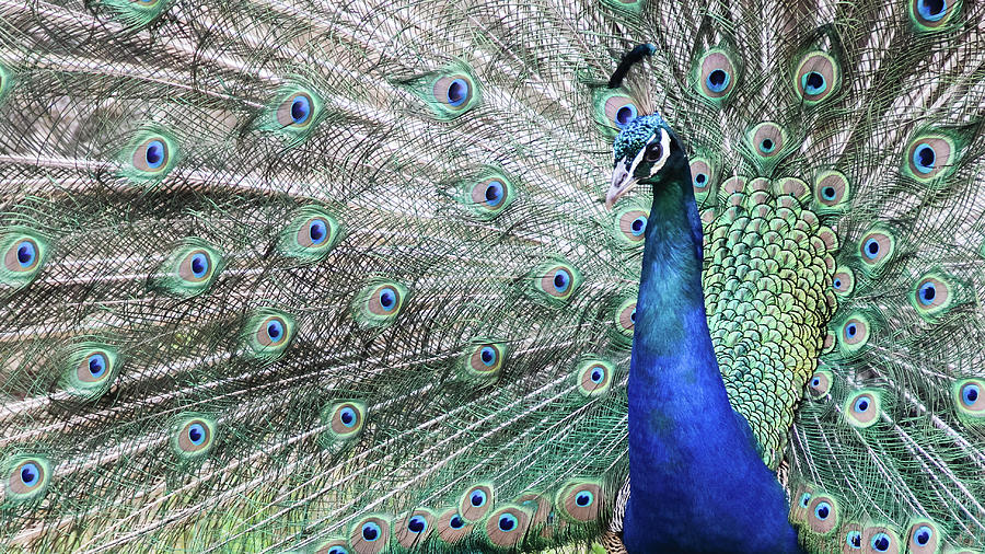 Peacock Displaying During Mating Season Photograph by Carolin Voelker