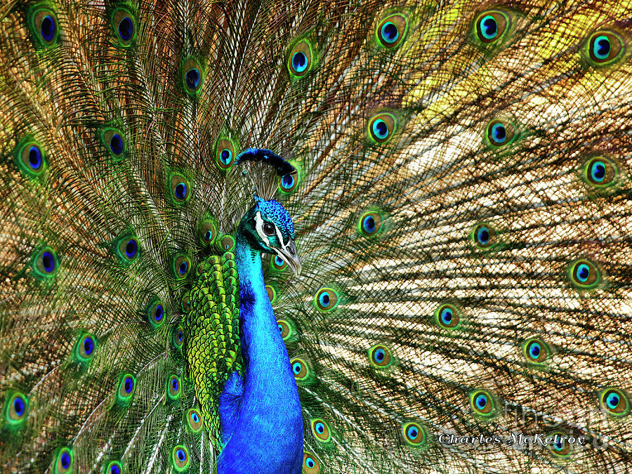 Peacock Full Bloom by Charles McKelroy