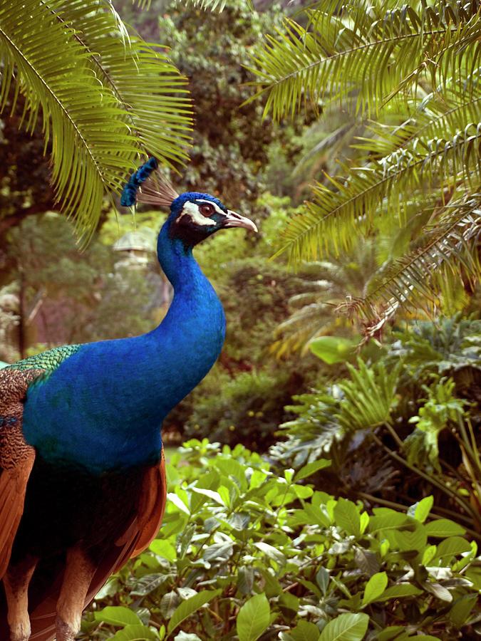 Peacock Photograph by Melinda Podor