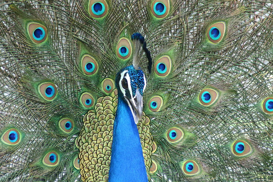 Peacock Photograph by Pravin Indrekar