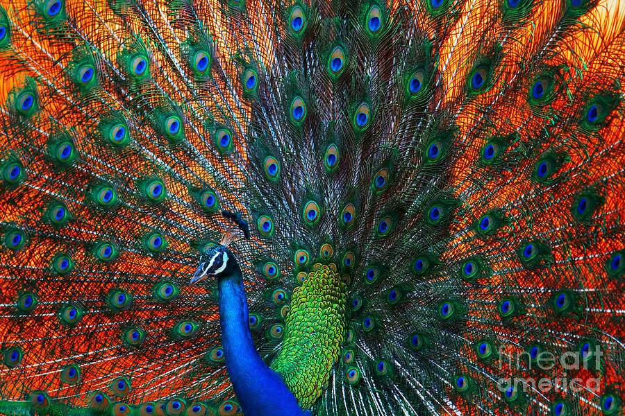 Dancing Photograph - Peacock Showing Feathers On The Bright by Dudarev Mikhail