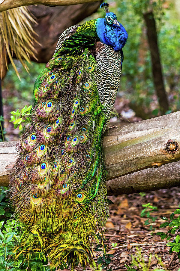 Peacock Watching by Kate Brown