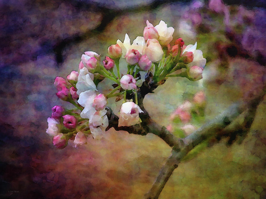 Pear Blossoms 19 6191 IDP_2 by Steven Ward