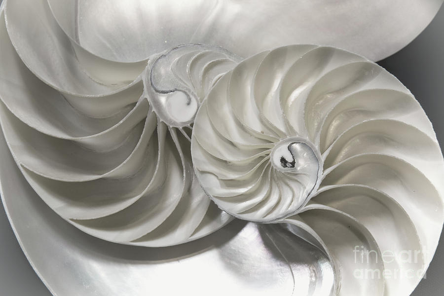 Pearl Nautilus Shells by Sharon McConnell