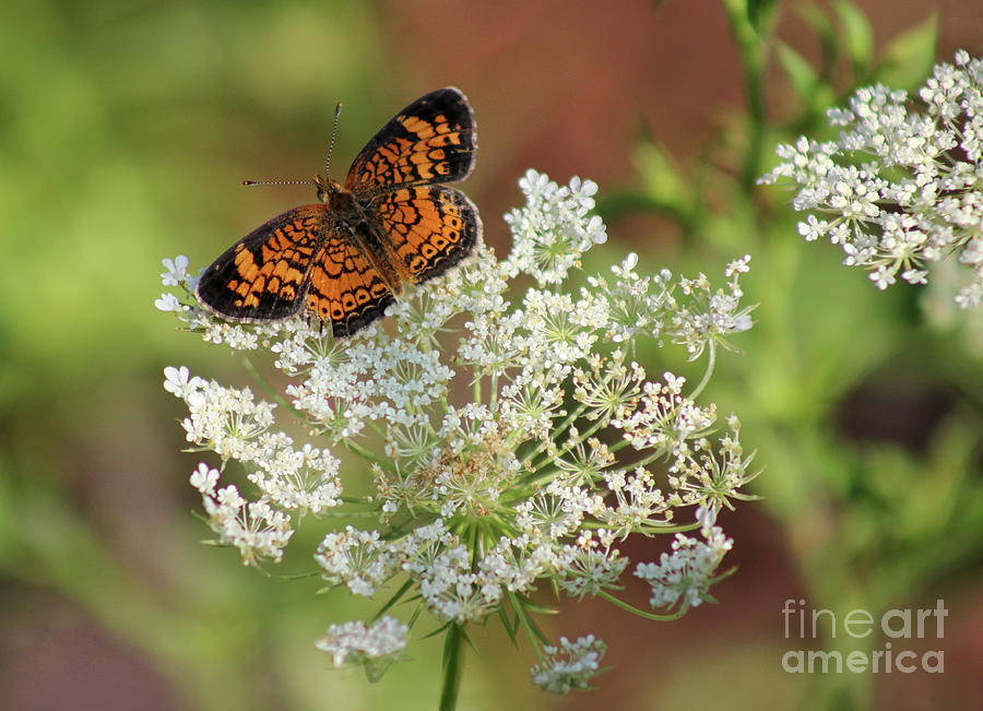 Butterfly Photograph - Pearl On Lace by Karen Adams