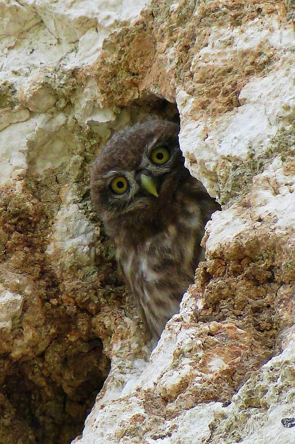 Peek a boo Owl by Darren Weeks