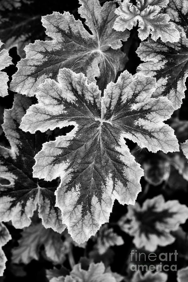 Pelargonium Chocolate Peppermint Leaves Monochrome by Tim Gainey