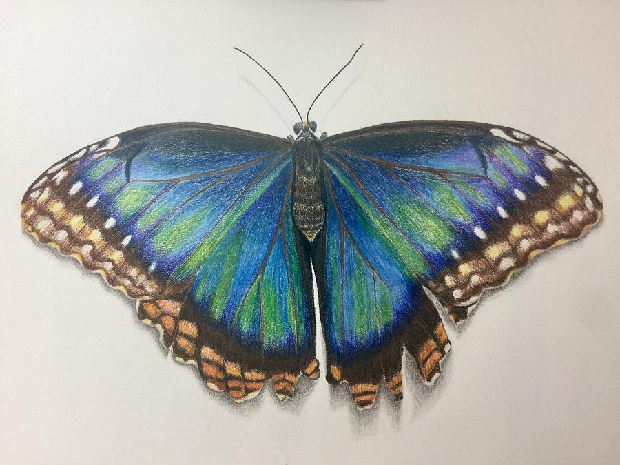 Peleides Blue Morpho Butterfly Drawing