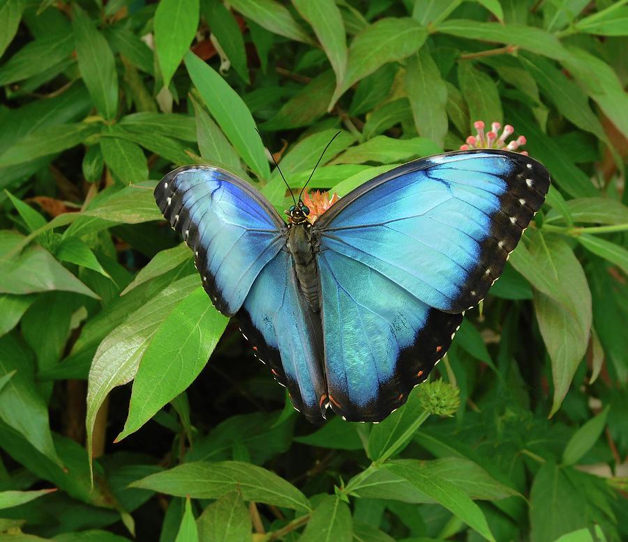 Peleides Blue Morpho Butterfly Photograph
