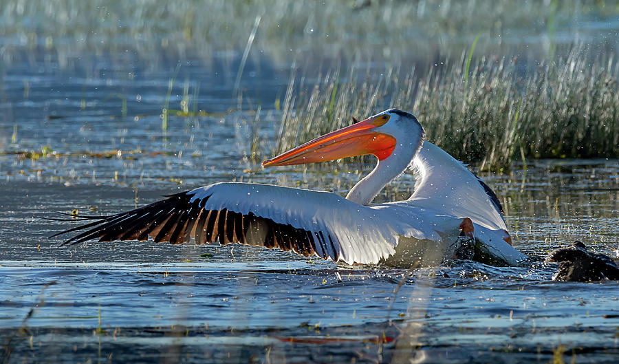 Pelican 11 by Rick Mosher