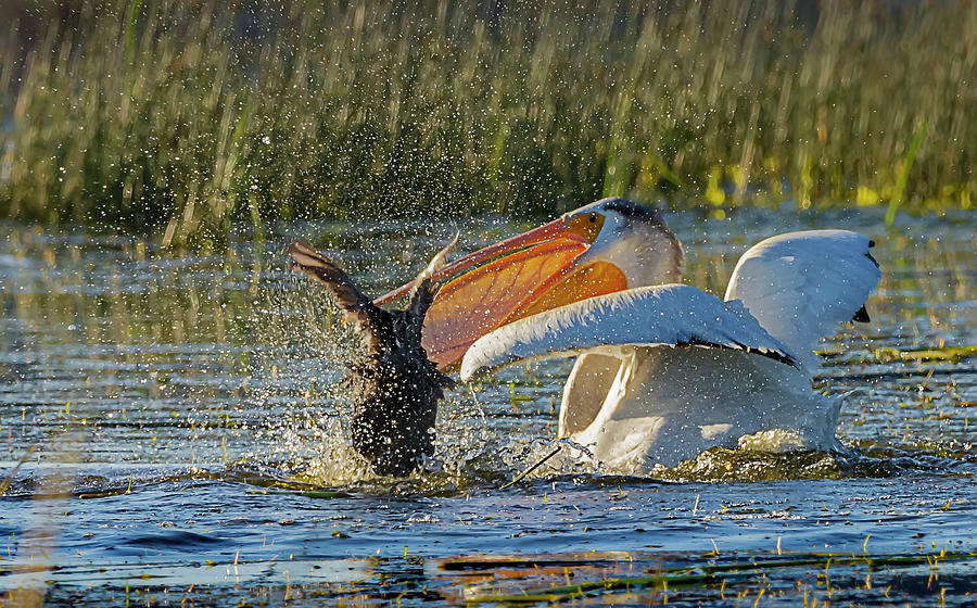 Pelican 8 by Rick Mosher