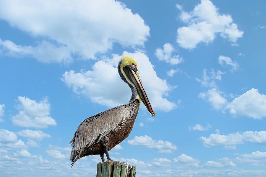Pelican at the Beach by Kim Hojnacki