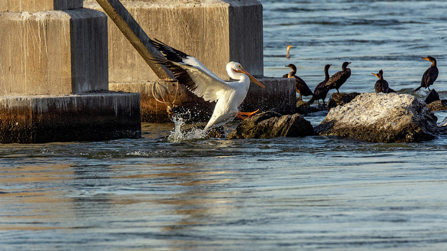 Pelican Coming Aboard by Jack Peterson