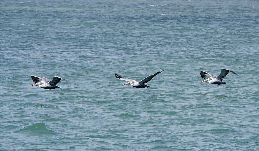 Pelican Flight by Richard Reeve
