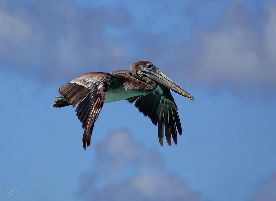 Pelican Photograph - Pelican Flight by Rick Lawler