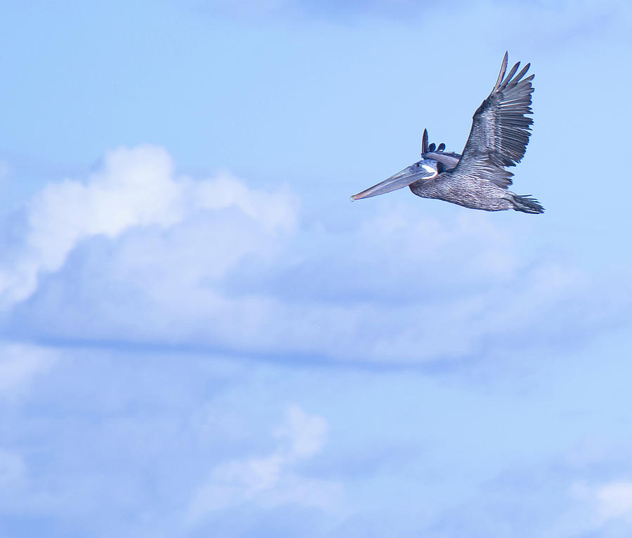 Pelican Fly Fishing by Linda Ritlinger