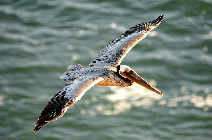Pelican in flight by David Shuler