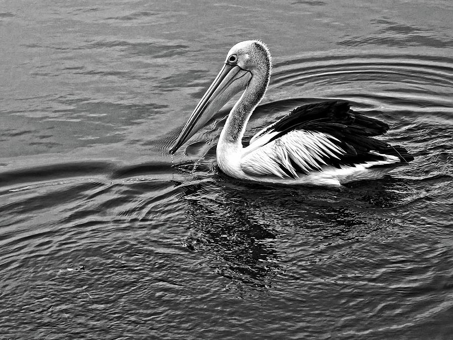 Pelican in monochrome by Martin Smith