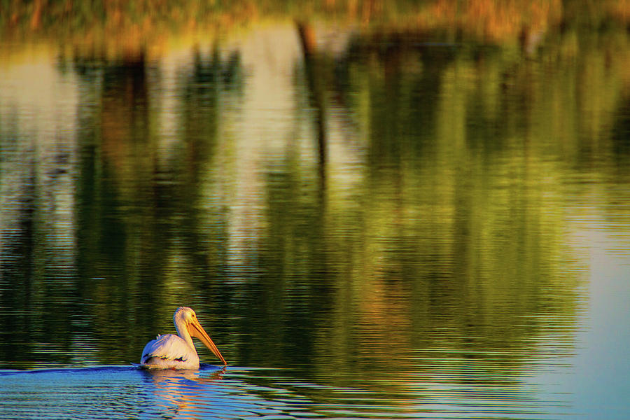 American White Pelican Photograph - Pelican In Sunlight by John De Bord