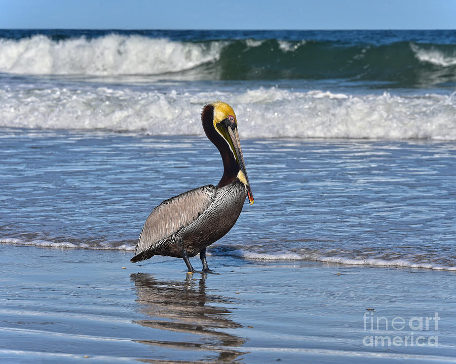 Pelican in the Surf by Catherine Sherman