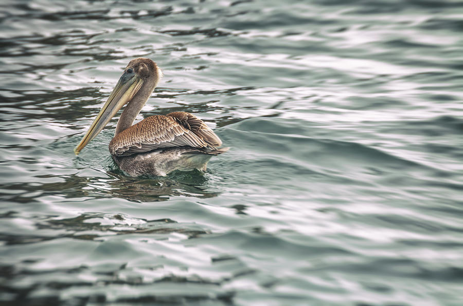 pelican in water - color by Jonathan Nguyen