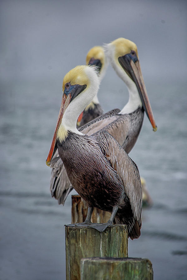 Pelican Lineup by Jolynn Reed
