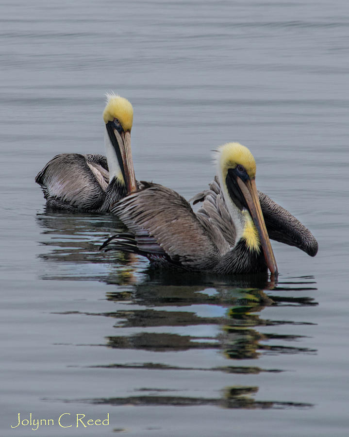 Pelican Pair by Jolynn Reed
