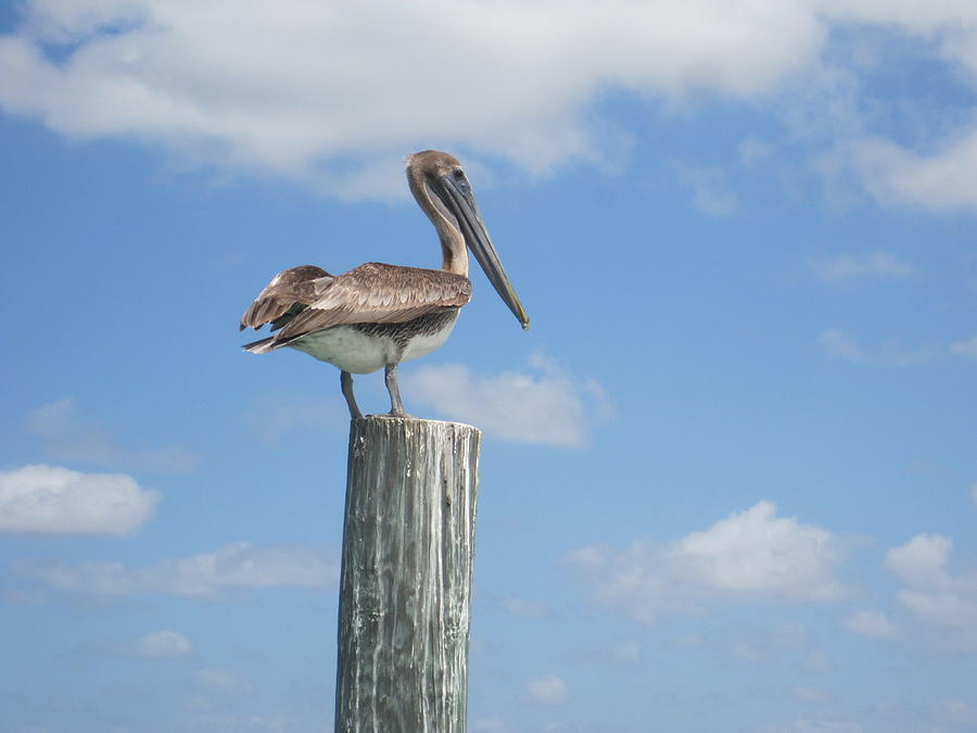 Sea Bird Photograph - Pelican Perch by Marty Klar
