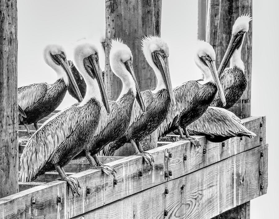 Pelican Politicians by Glenn Grossman