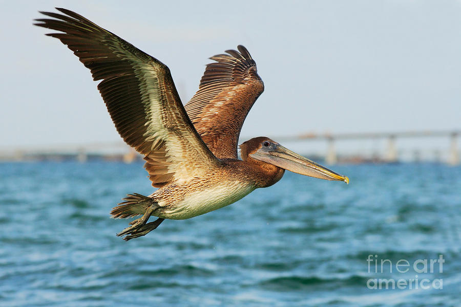 Feather Photograph - Pelican Starting In The Blue Water by Ondrej Prosicky