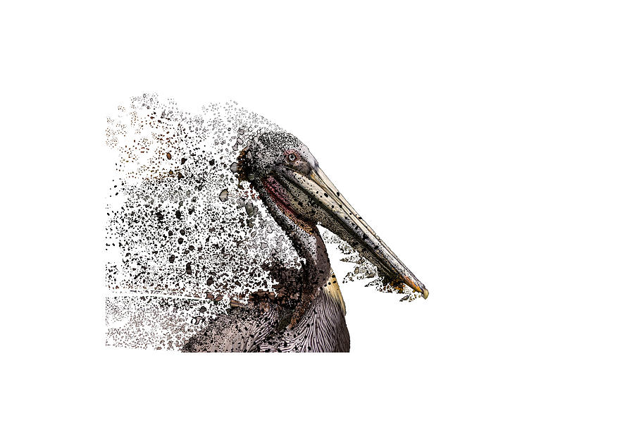Pelican with Transparent background by Bill Posner
