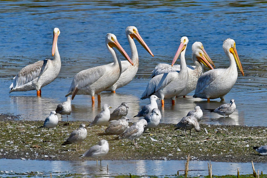 Pelicans at Shiawassee 8388 by Michael Peychich