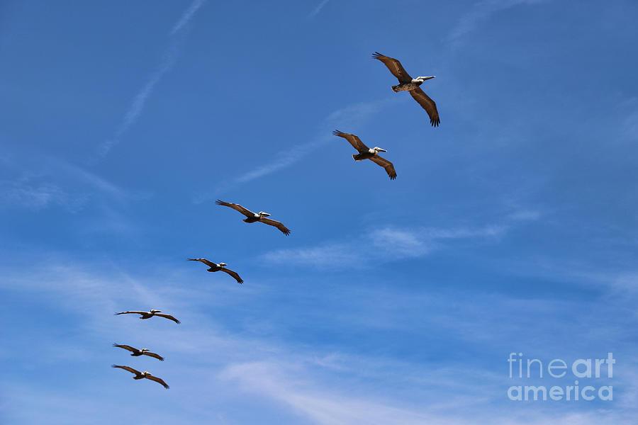 Pelicans Photograph - Pelicans by Kelly Pennington