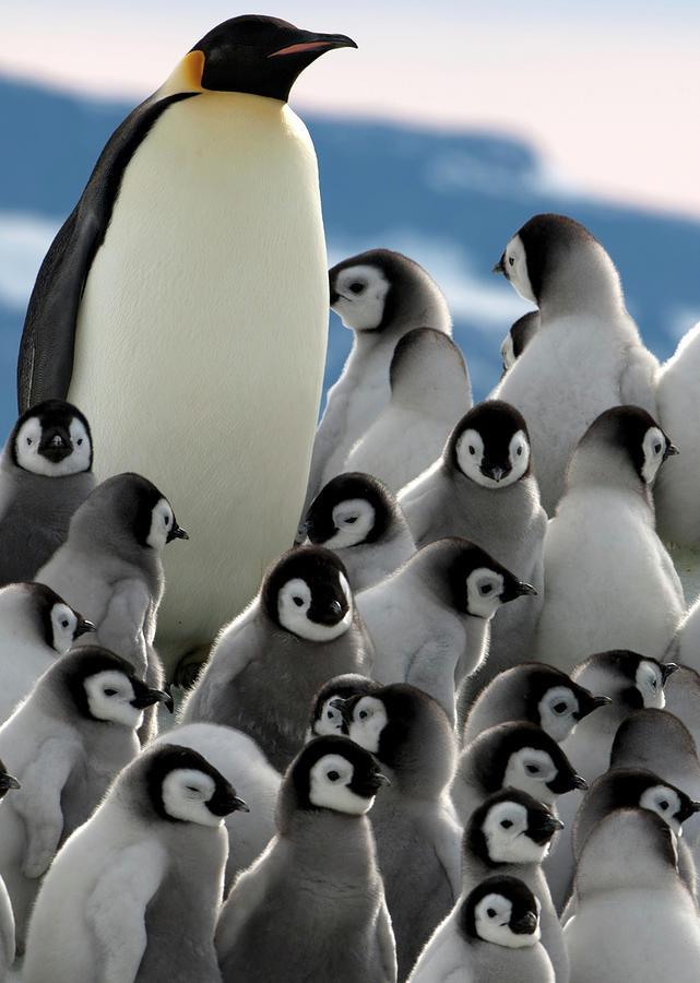 Penguin Creche In Antarctica Photograph by David Yarrow Photography