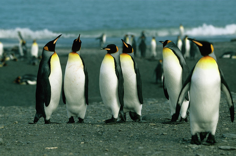 Penguins Of South Georgia Photograph by Wdj