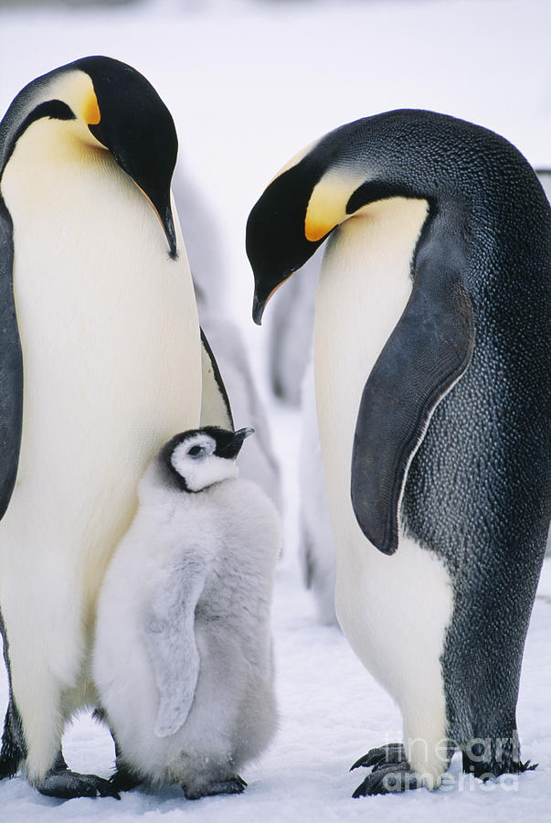 Standing Photograph - Penguins With Chick Standing On Snow by Bmj