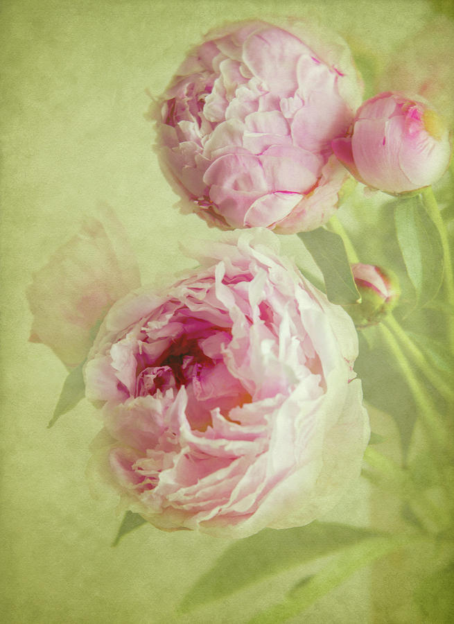 Peonies  by Diane Fifield